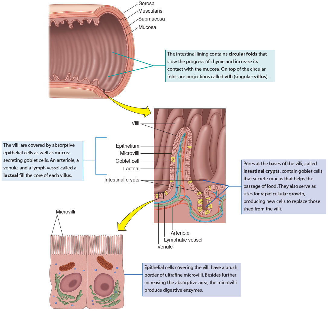 Funky Anatomy Of The Gi Pictures - Physiology Of Human Body Images ...