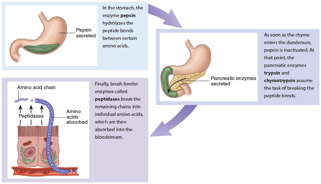 Iacademy Com Understanding Anatomy Physiology Learning About